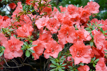 red azalea flowers in the garden