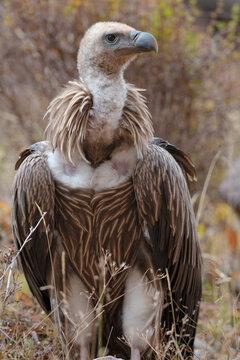 Close up of Himalayan griffon vulture