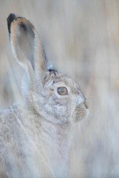 Woolly hare portrait