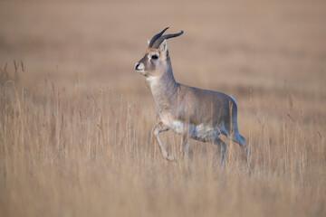 Przewalski's gazelle, endemic species for China