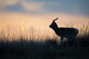 Przewalski's gazelle silhouette in a grass landscape