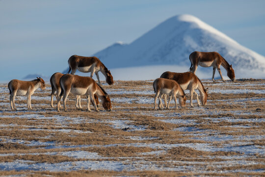 Group of kiangs grazing on grassy landscape with mountain in background