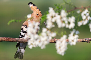 hoopoe sings a song among the white robinia flowers