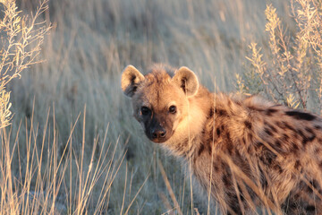 Shot of a cute Spotted hyena