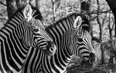 Photo sur Plexiglas Zebra Seeing double