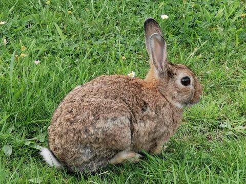 Kleines wildes Kaninchen, Feldhase auf der Weise