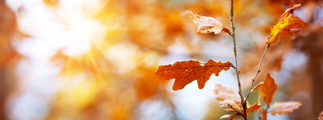 Wall Mural - red maple leaves in autumn with beautiful sunlight