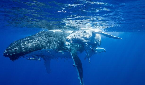 Humpback whales swimming underwater