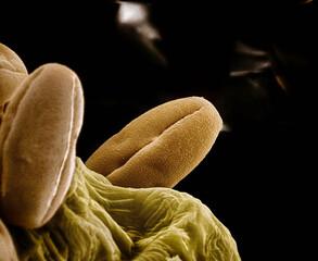 Microscopic view of chili pepper pollen