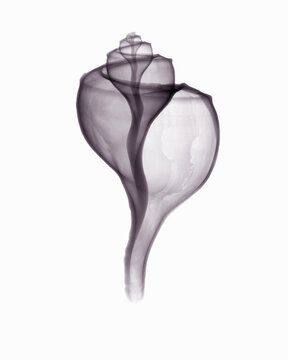Image of channel whelk
