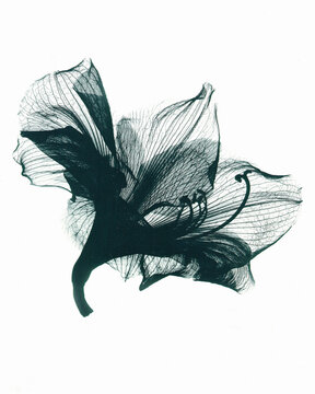 X-ray image of Amaryllis flower