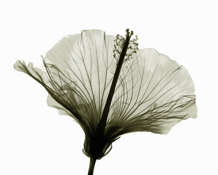 X-ray image of hibiscus flower