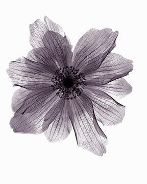 X-ray image of ranunculus flower
