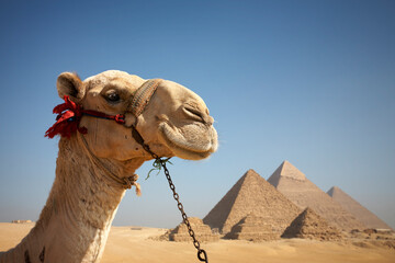 Portrait of a camel in front of the pyramids of Giza, Egypt