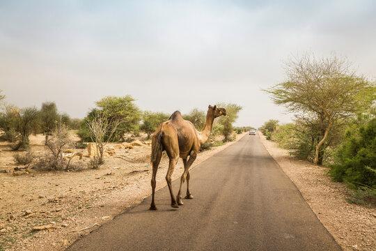 Rear view of camel walking along road, Thar desert, Jaisalmer, Rajasthan, India