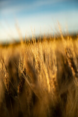 Extreme close up of wheat field at sunrise
