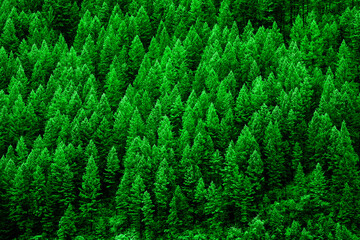 Lush Green Pine Forest of Trees Mountainside Wilderness Environment
