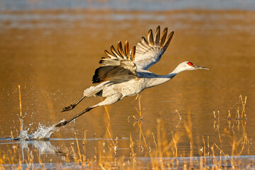 View of sandhill crane flying over pond