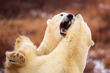 Polar bears fighting outdoors