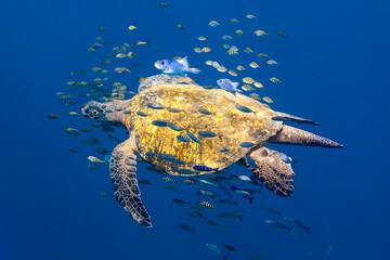 Sea Turtle with fish swimming in sea