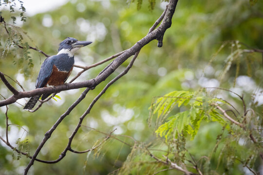 Ringed Kingfisher perching on branch
