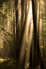 View of sunrays in forest in Limekiln State Park