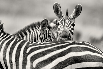 Close up of zebra in Maasai Mara National Reserve