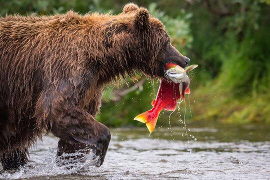 Alaska Peninsula brown bear with sockeye salmon in Alaska's Katmai National Park and Preserve