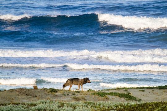 Wild gray wolf walking along beach on west coast of Vancouver Island