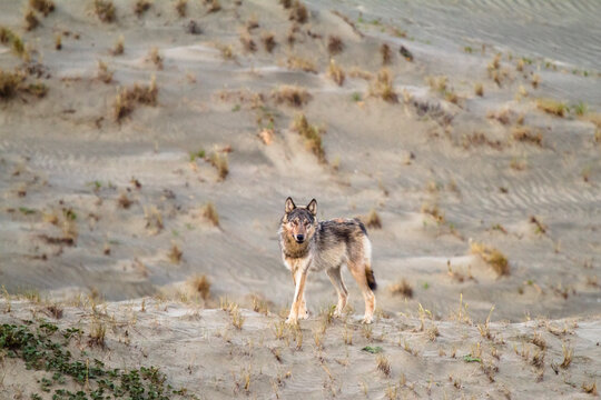 Gray wolf standing on coastal sand dune in west coast of Vancouver Island