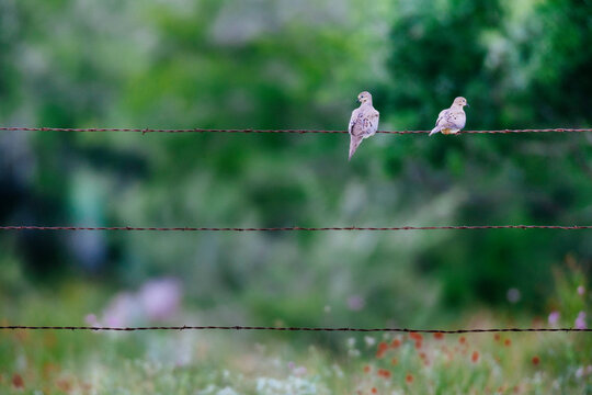Mourning doves perching on barbed wire fence