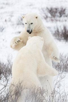 Polar bear playing on shore of Hudson Bay in winter