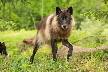 Portrait of wolf walking in forest