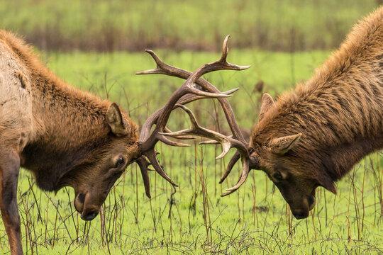 Close up of bull elks fighting in Prairie Creek Redwoods State Park
