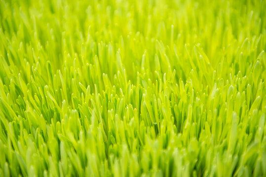 Close up of wheatgrass