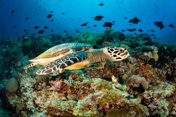 Hawksbill sea turtle swimming along tropical Indonesia reef