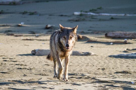 Gray wolf walking on beach