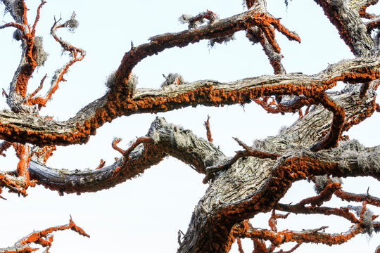 Close up of branch of cypress tree with orange colored algae