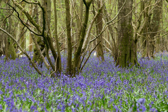 Scenic view of bluebell woodlands in spring