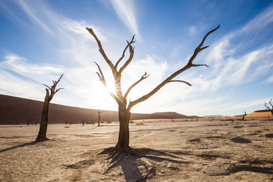 View of dead acacia trees in clay pan