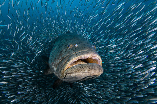 Close up of Atlantic goliath grouper surrounded by school of small fish