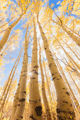 Low angle view of aspen trees against sky