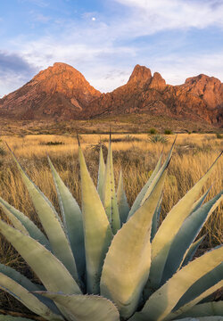 Agave plant and Chisos Mountains during sunset in Big Bend National Park