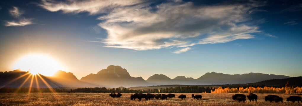 Bison standing on grassy landscape in Grand Teton National Park during sunset