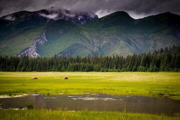 Brown bear on grassy landscape in Lake Clark National Park and Preserve