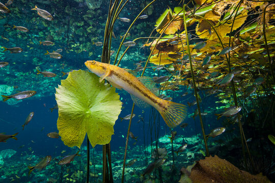 Water lilies and fish swimming in freshwater