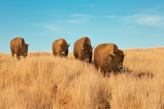 Bison walking on grassy landscape