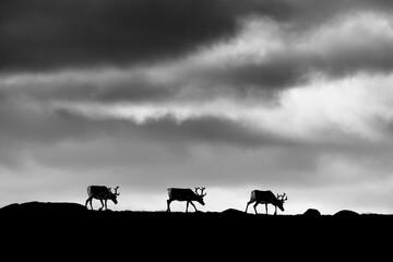 Silhouette of reindeers walking against cloudy sky