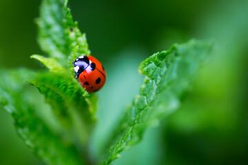 Close up of Ladybird beetle on wild mint