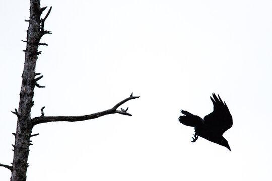 Raven flying away from dead tree